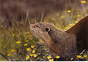 Otter with Buttercups tn